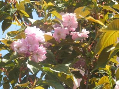 20090520桜