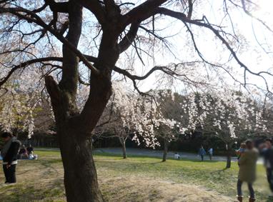 枝垂れ桜が先にさくのね。
