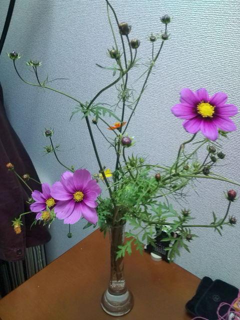 .コスモスちゃんきれいに咲いています