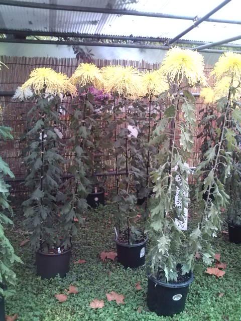 背の高い菊1