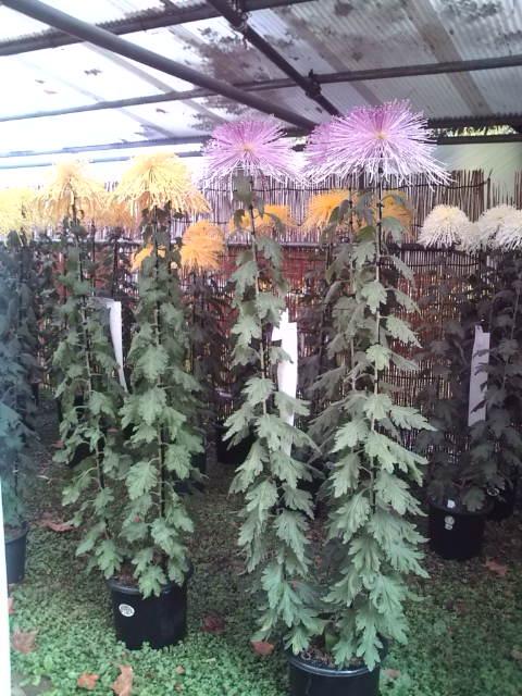 背の高い菊2