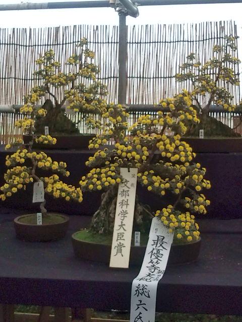 植木タイプの菊