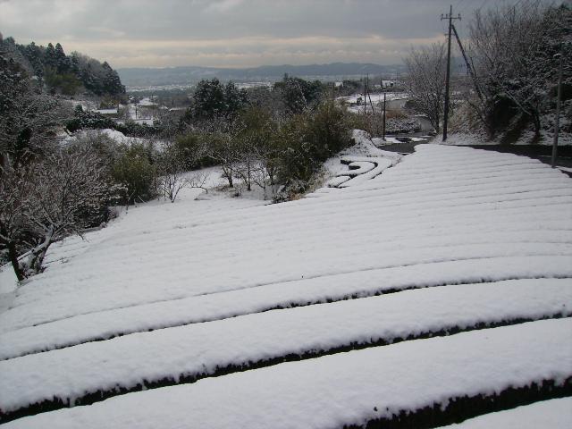 雪の茶畑53