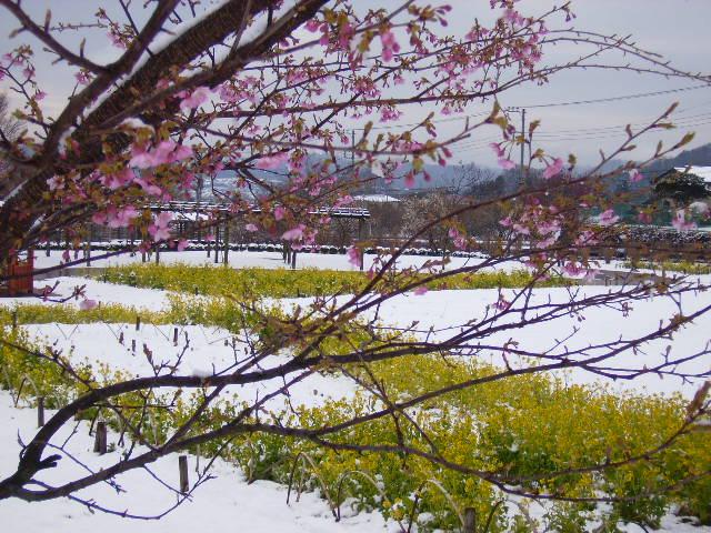 雪と河津桜と菜の花100