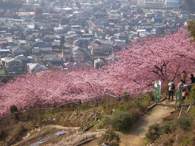 河津桜61