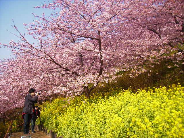 河津桜と菜の花18