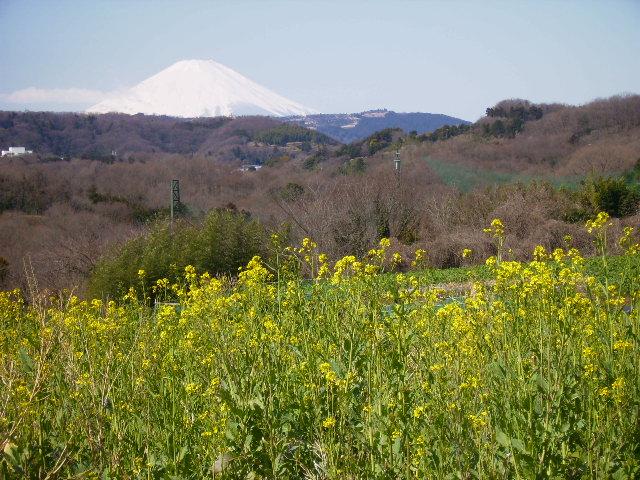 菜の花と白富士39
