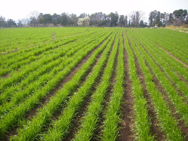 初春の麦畑001