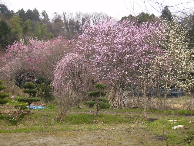 桃の花20