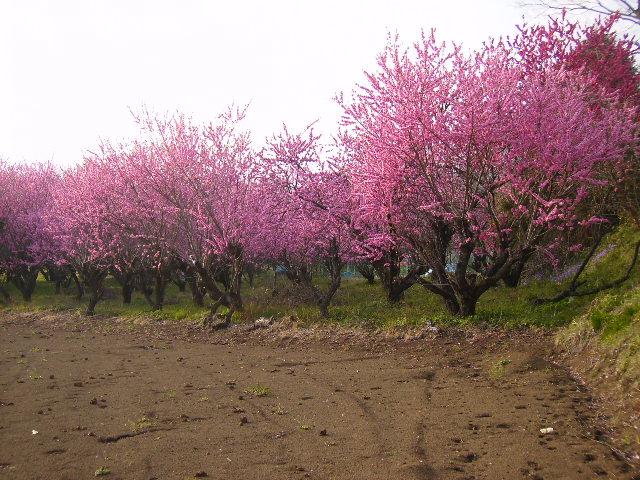 桃の花23