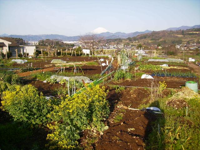 白富士と菜の花28
