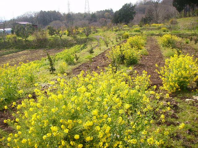 菜の花畑65