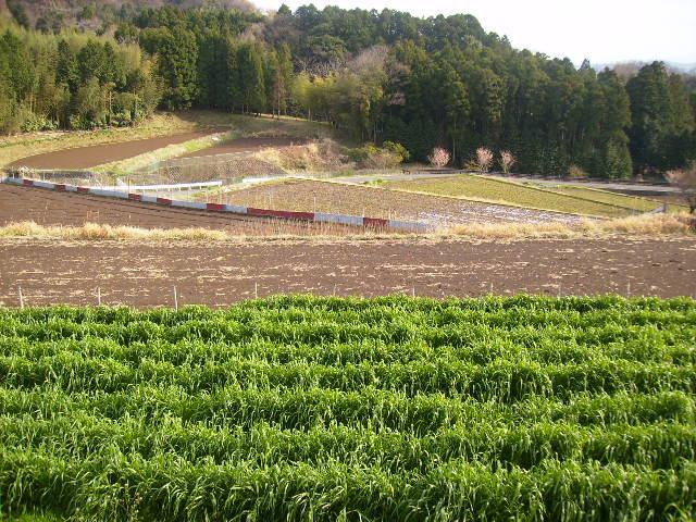 むぎ畑と田んぼ90