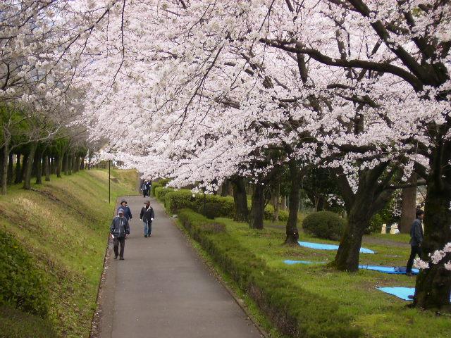 運動公園の桜06