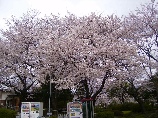 運動公園の桜02
