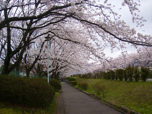 運動公園の桜03