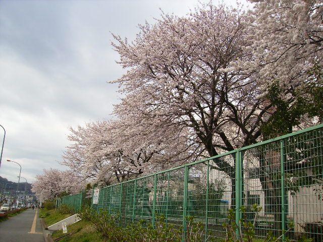 学校の桜19