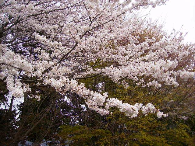 古墳公園の桜25