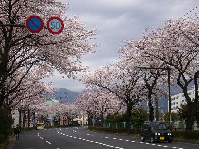 掘西の桜15