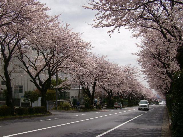 掘西の桜11