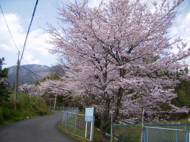 坊坂の桜90