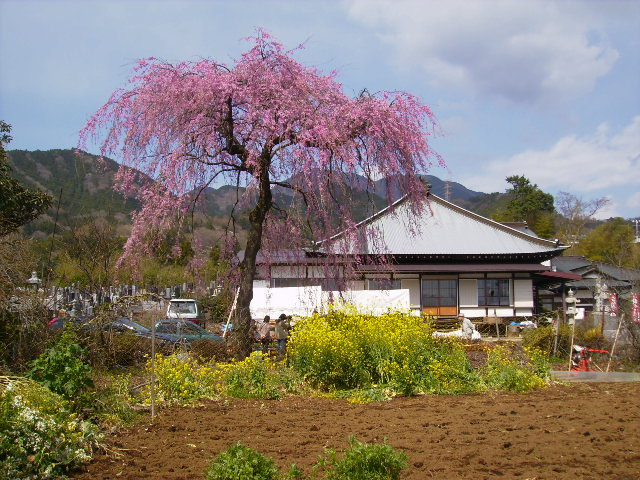 白泉寺の桜79
