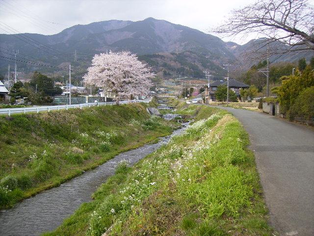 葛葉川と桜134