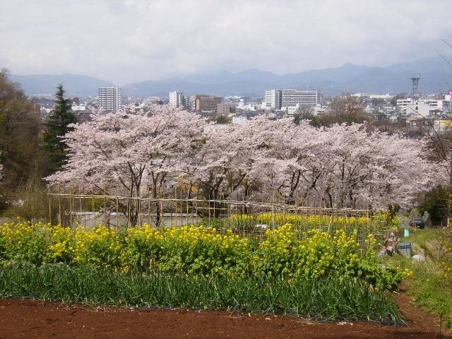 菜の花と桜94