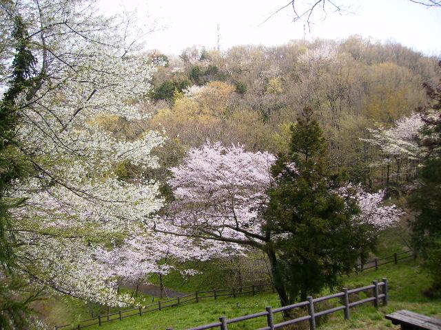 桜と若葉80