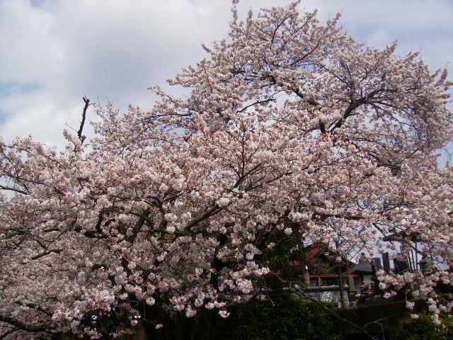 満開の桜117