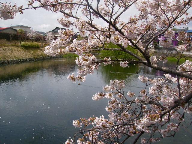 水辺の桜115