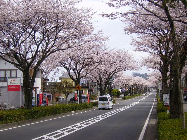 桜並木166