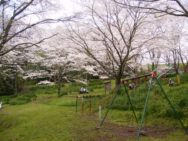 桜満開148