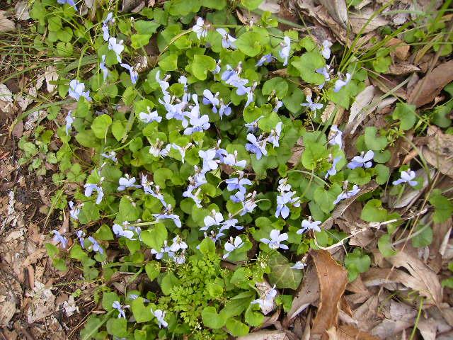 菫の花161