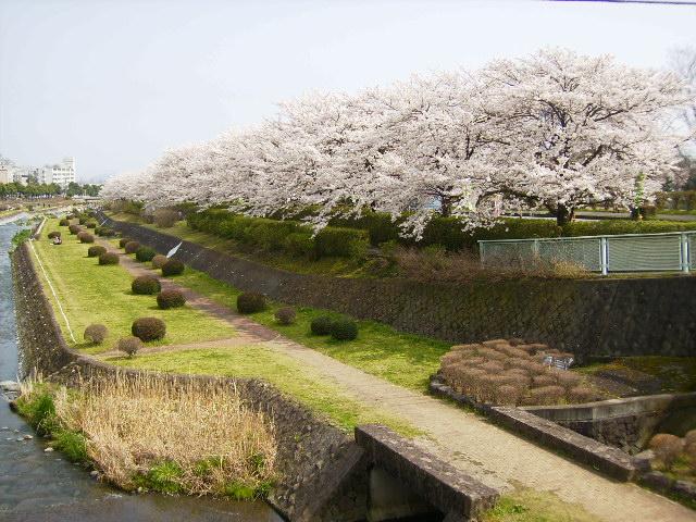 桜満開202