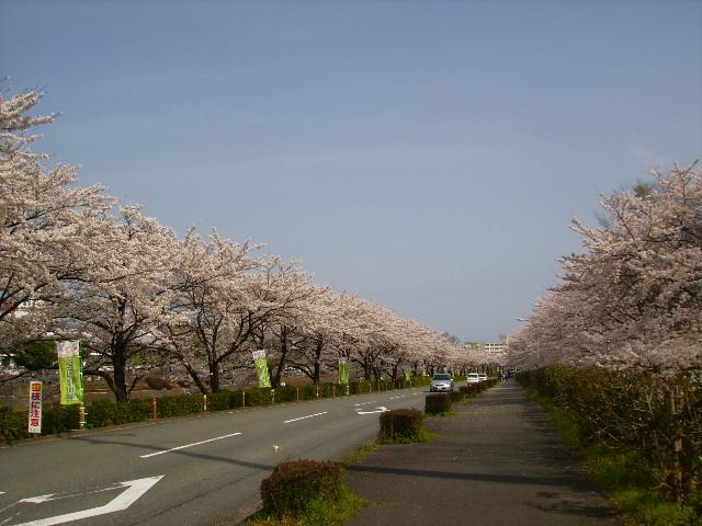 桜並木207