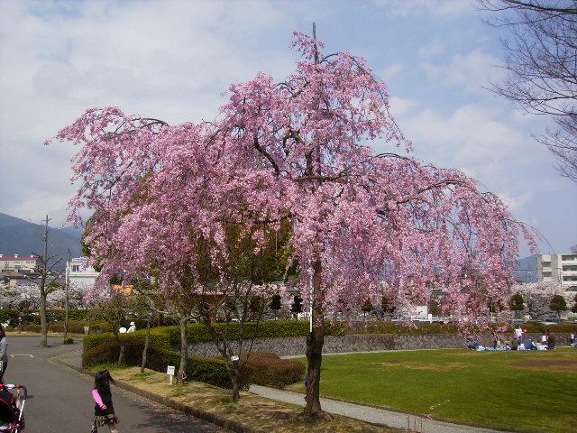 枝垂れ桜187