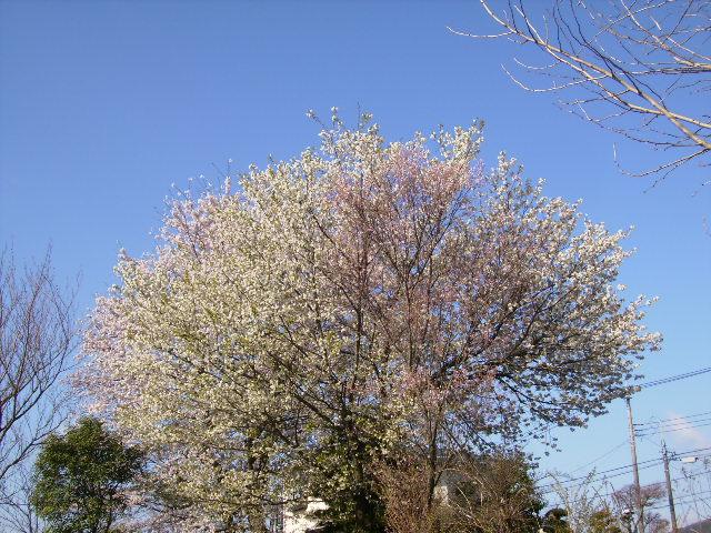 桜満開22