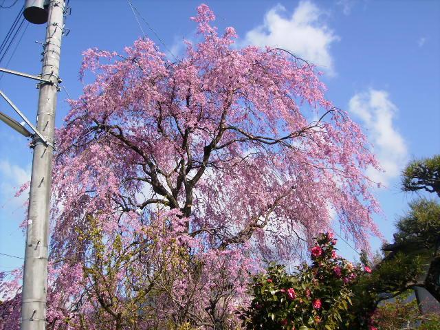 枝垂れ桜43
