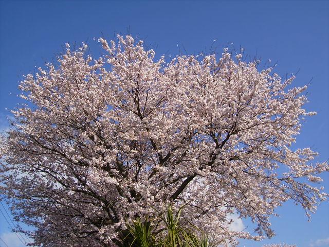 桜満開37