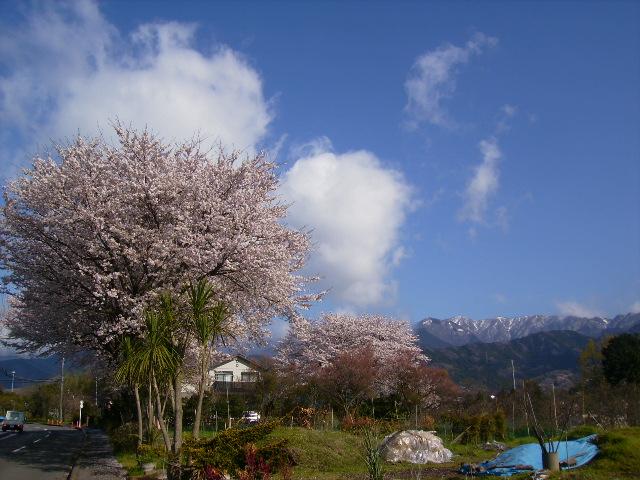 雪割桜27
