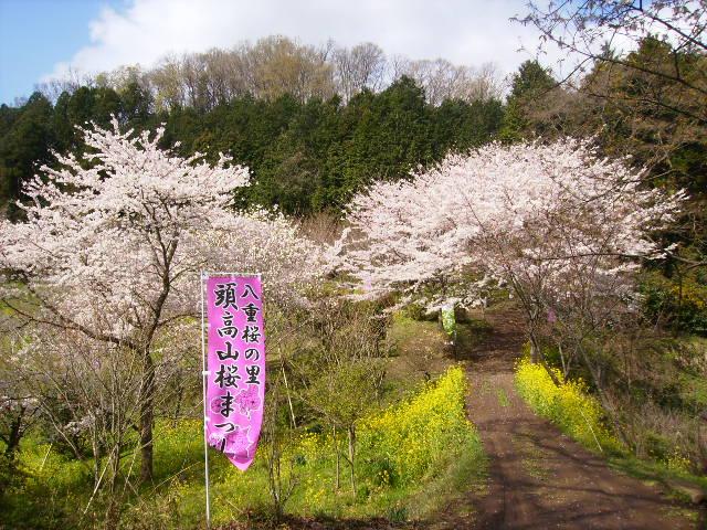 桜と菜の花101