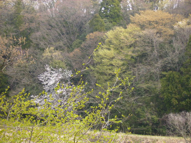 桜と若葉09