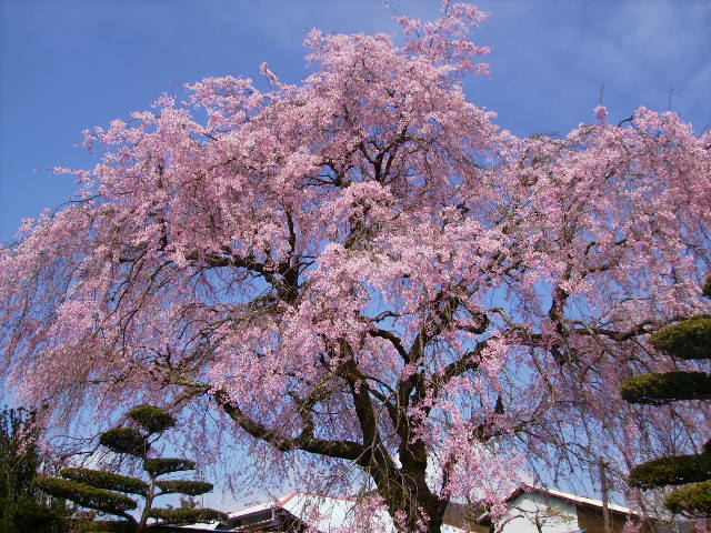 枝垂れ桜12