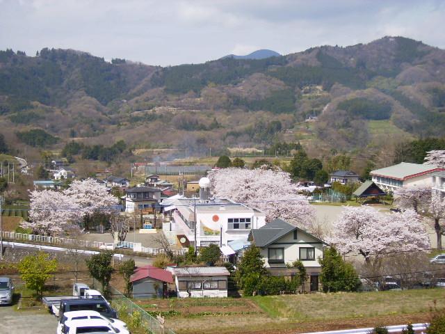 学校の桜66