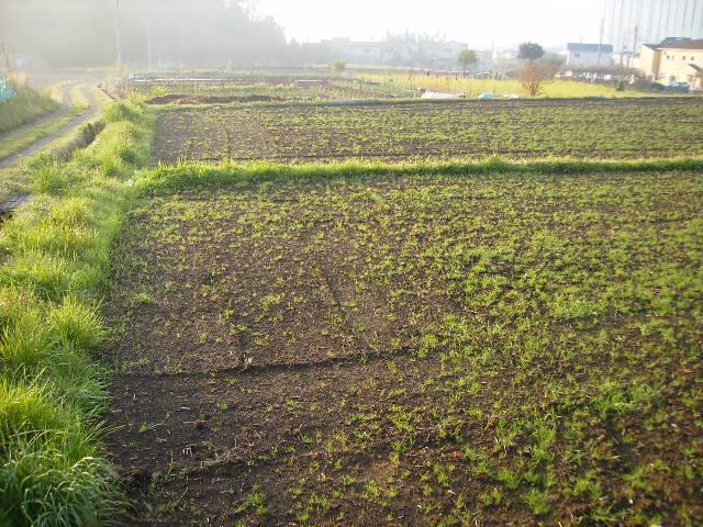 春の田んぼ005