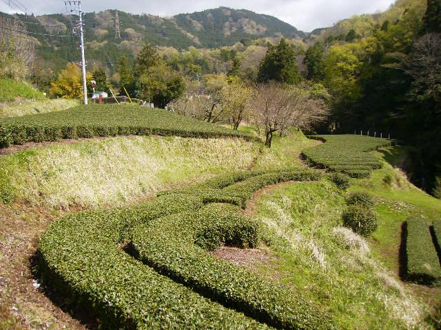 春の茶畑49