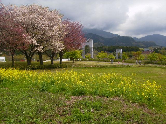 菜の花と八重桜159
