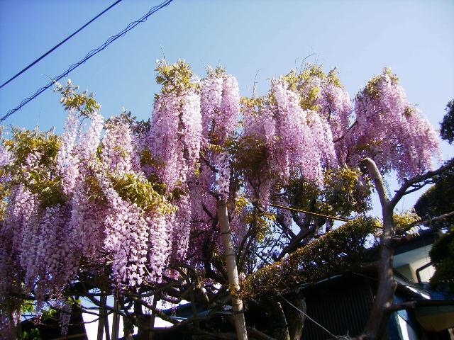 藤の花002