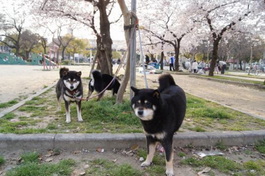桜が満開になる頃には